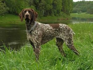 курцхаар собака описание породы
