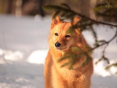 Маленькая собака с большими ушами порода похожа на лису