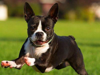 Порода собак представляет собой