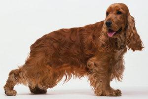 Чем хороша порода собак кокер спаниель