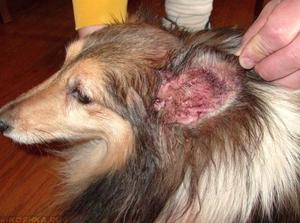 Заболевание ушей у собак
