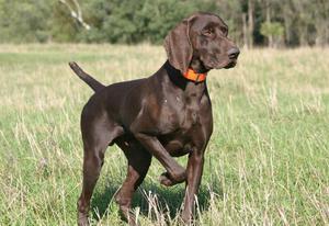 фото собак пойнтер порода