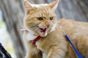 Бешенство у кошек-симптомы