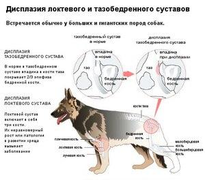 Проявление дисплазии тазобедренных суставов у собак боль в суставах закупора