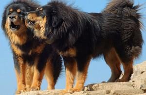 Описание собак тибетских мастифов