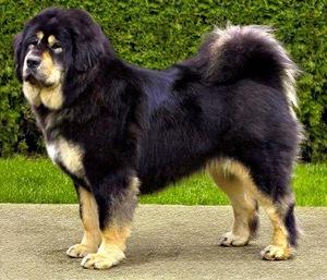 Особенности породы собак мастифов