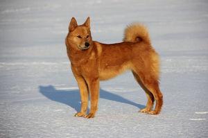 Фото и описание породы карело-финская лайка: воспитание и обучение, охота с лайкой