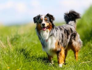 собаки среднего размера породы с фото