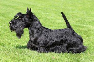 шотландские собаки
