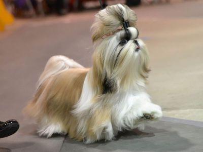 Порода собак шицу