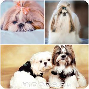 Ши-тцу — порода  маленьких собак