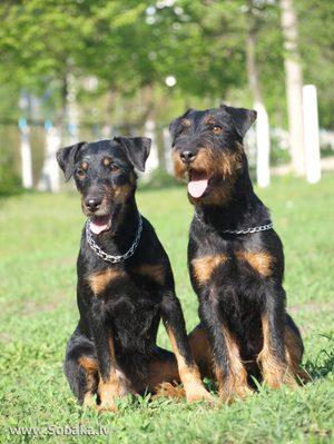 Питание собак породы ягдтерьер