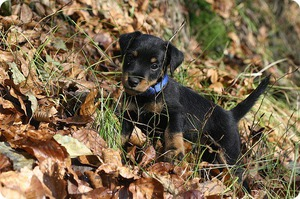 Описание породы собаки ягдтерьер