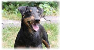 Внешний вид собаки ягдтерьера