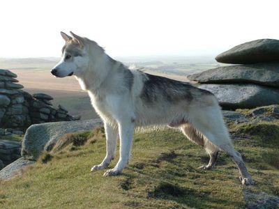 Порода собак похожая на волка