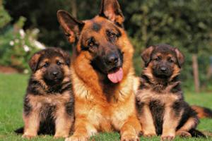 Породистых собак из одного помета называют на одну букву