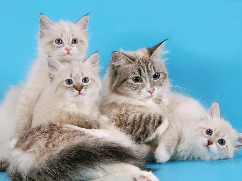 Назови известные тебе породы кошек найди их изображения открытки фото репродукции, изображением зайца разное