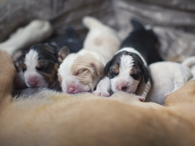 Когда щенки открывают глаза и уход зановорожденными