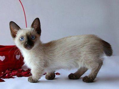 Подробное описание коротколапой породы кошек манчкин