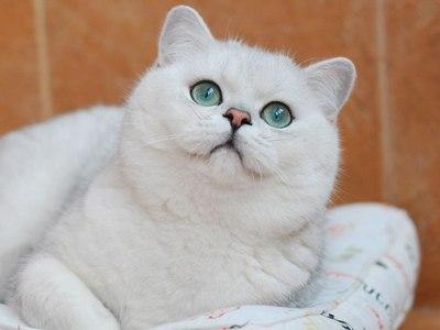 Британская шиншилла порода кошек