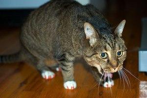 Рвота у кошки-что делать
