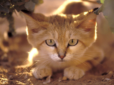 Барханный кот описание породы характер особенности ухода