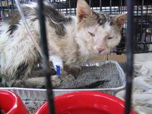 Как помочь кошке при лейкозе