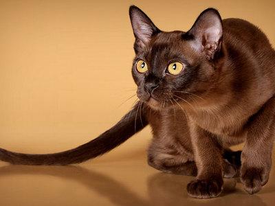 Бурманская кошка описание породы и характера