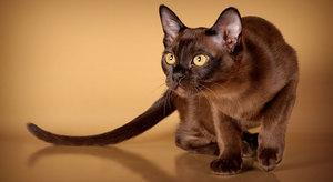 бурманская кошка характеристика