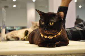Бурманская кошка: правила кормления