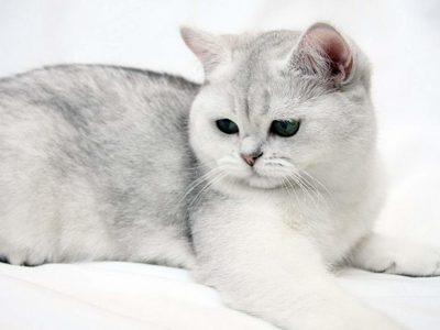 Экзоты кошка характеристика породы