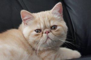 Характер экзотической короткошерстной кошки