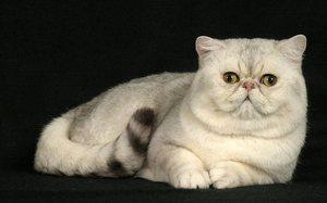 Кормление экзотической кошки