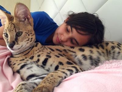 Кошка сервал в домашних условиях: уход, кормление, цена