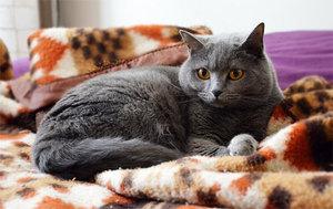 Рацион питания картезианской кошки
