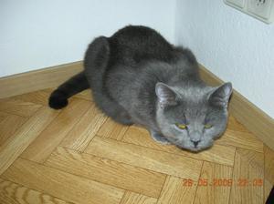 Порода кошек шартрез