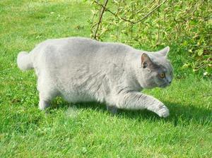 Как выглядит кошка картезианской породы
