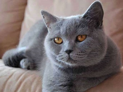 Шартрез кошка: фото, описание породы