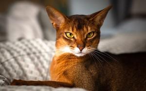 Взгляд абиссинской кошки