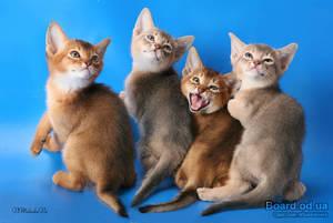 Абиссинская кошка размеры