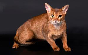 Абиссинские кошки – характеристики породы