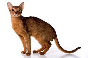 Абиссинский кот внешний вид