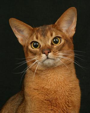 Абиссинская кошка голова крупно