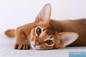 Кошки абиссинской породы