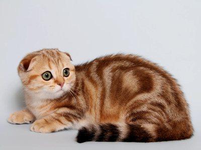Скоттиш-страйт шотландские кошки с прямыми ушами
