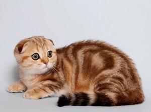 шотландская кошка страйт и фолд