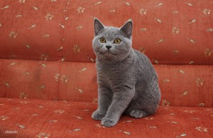 особенности породы британских кошек