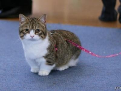Как называется порода кошек с короткими лапами