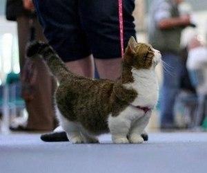 Особенность кошек с короткими лапами