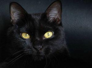 кошки бомбейской породы